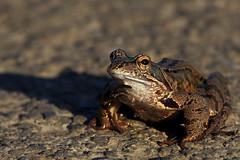 Erdkröte / Common toad (Bufo bufo) (uwe125) Tags: tier amphibien kröte erdkröte animal common toad