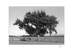 Oak (radspix) Tags: yashica 230af kyocera 2885mm f3545 arista edu ultra 100 pmk pyro