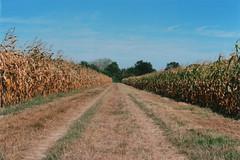 Chemin au milieu des maïs (Pito Charles) Tags: argentique analog camera film vintage filmisnotdead pellicule