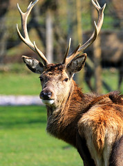 Wild Scottish red deer stag (Dave Russell (1.3 million views thanks)) Tags: elaphus cervus cervuselaphus scoticus red stag deer animal nature wild life wildlife photo photography photograph outdoor lochranza isle island arran clyde west western scotland canon eos eos7d 7d male antlers