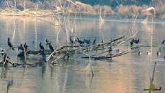 A-LUR_1983 (OrNeSsInA) Tags: ornessina trasimeno lago byrd natura nature aironi umbria itali italia