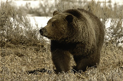 weeds on the nose (Steve Courson) Tags: grandtetonnationalpark grizzlybear stevecourson