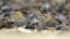 Crossbills (Thomas Winstone) Tags: blakeney england unitedkingdom gb canonuk canon 300mm28mk2 birds aves uk bird outdoors wildlife nature wildbirds countryside outdoor forest woodland woods 3lt 3leggedthing thomaswinstonephotography bbc springwatch bbcspringwatch nationalgeographic crossbill
