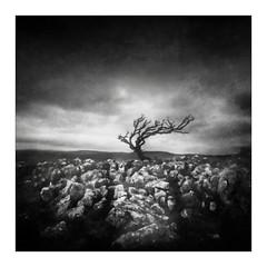Between Rock and Sky (gerainte1) Tags: yorkshiredales tree winter limestone blackandwhite film acros100 pinhole texture