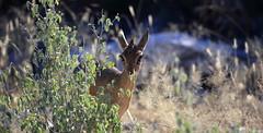 Bambi (Nicolas Rénac) Tags: namutoni dikdik cute eyelashes kawaii antelope madoqua namibia etosha animal wildlife wild 6d