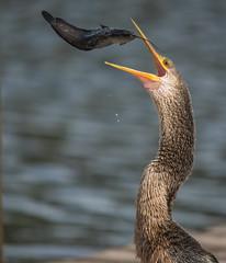 "Feeding Time (ap0013) Tags: ""sarasotaflorida"" fla sarasota nature wildlife animal bird florida myakka anhinga eating eat myakkariver statepark"
