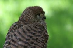 IMG_1492 (Stefan Kusinski) Tags: hemsley duncombe ncbp birdofprey