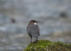 Dippers-9558 (seandarcy2) Tags: birds river dippers parkend uk handheld wild wildlife