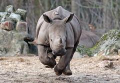 white rhino Burgerszoo 094A0974 (j.a.kok) Tags: rhino rhinoceros witteneushoorn neushoorn whiterhino breedlipneushoorn animal mammal zoogdier dier africa afrika burgerszoo burgerzoo