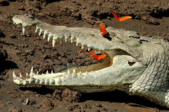 Crocodile-IMG_5186-001 (cherrytree54) Tags: butterfly crocodile canon 70d 70200 costa rica