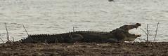 Crocodylus palustris, Marsh Crocodile, Moeraskrokodil (meijsvo) Tags: crocodile sri lanka yala big dangerous reptile