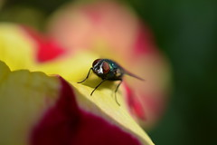Flyday Again! (suekelly52) Tags: diptera fly flower macro petunia greenbottle commongreenbottlefly flydayfriday