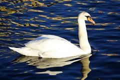 6Q3A7829 (www.ilkkajukarainen.fi) Tags: tukholma swan joutsen bird lintu happy life visit travel travelling stockhom meri sea water vesi