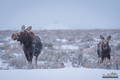 Looking Both Ways (kevin-palmer) Tags: december winter snow snowy morning nikond750 nikon180mmf28 telephoto grandteton nationalpark grandtetonnationalpark jackson snowing storm cloudy moose animals wildlife mother cow calf sagebrush two cold sleepingindianoverlook
