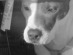 IMG_4332 (kennethkonica) Tags: daisy pet animaleyes animalplanet animal canonpowershot canon usa midwest america indiana indianapolis indy color mood fun hoosier random global canine