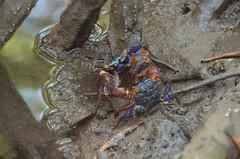 Pran Buri mangrove (sillie_R) Tags: crab mangrove nationalpark pranburi pranburimangrove thailand prachuapkhirikhan th