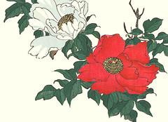 Tree peony (Japanese Flower and Bird Art) Tags: flower tree peony paeonia suffruticosa paeoniaceae ukiyo woodblock picture book japan japanese art readercollection