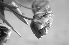 Black and white (Tashata) Tags: macro botanical outdoor outdoors nature plant petals light leaves flowers flora tulip bokeh black white bw smcpentaxdfamacro100mmf28wr blackandwhite monochrome