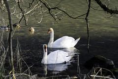 Swans - Wichelsee
