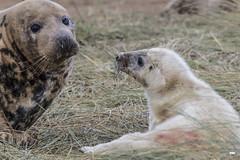 The look of love (davidrhall1234) Tags: greysealhalichoerusgrypus seal sealpup animal coastal coast conservation wildlife wildlifetrust donnanook lincolnshire marine mammal nature nikon shore shoreline outdoors world springwatch