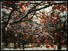 Winter abstract. #collegepark #maryland #iPhone #commute #sidewalk #roadside #iPhonemacro #macro  #flower #flowersofinstagram (Kindle Girl) Tags: roadside collegepark maryland iphone commute sidewalk iphonemacro macro flower flowersofinstagram