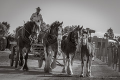 Clydesdale at Heyfield (Peter_Mackey) Tags: horse farm clydesdale workinghorses heyfield