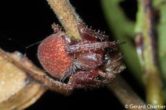 Neoscona sp. (GeeC) Tags: animalia arachnida araneae araneidae araneomorphae arthropoda cambodia kohkongprovince nature neoscona orbweavers spiders tatai truespiders kh