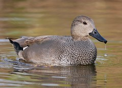 Gadwall (PhotoLoonie) Tags: duck gadwall bird waterbird nature wildlife attenboroughnaturereserve