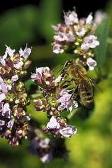 Honigbiene (uwe125) Tags: tiere insekten bienen honigbiene insect blüte honeybee pollen blossom