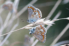 Aricia agestis (fabriciodo2) Tags: ariciaagestis papillon butterfly macro nature france