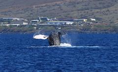 DSC_0568 (Don Holmgren) Tags: hawaii kohalacoast humpbackwhales whales breach