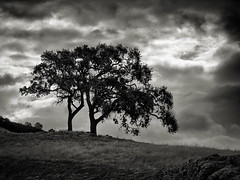 The Tree Couple (StefanB) Tags: em5 outdoor tree treescape geotag 45200mm usa hiking clouds morganhill monochrome california uvasroad
