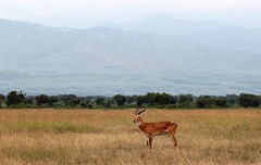 Uganda Kob (douwesvincent) Tags: nature uganda oeganda africa world earth eco natural outdoor safari wild open holiday trip birding explore green flora fauna life