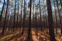 Sam Houston National Forest - Gradient (Steven Fippinger) Tags: forest trees nature bark pines shadows backlit