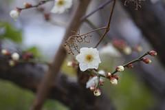 しらうめ (kokemomiji) Tags: 梅 うめ japaneseapricot industar industar61 industar61lzmc50mmf28 a7ii α7ii oldlens winter spring flower japan