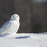 Harfang des neiges thumbnail