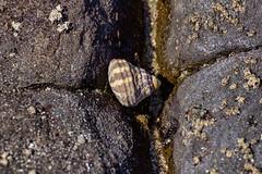 Snail shell, Mollymook Beach, AU (Jim 03) Tags: mollymook beach shoalhaven new south wales australia ulladalla tasman sea water sky blue coast pied shag heron snail kelp nature jim03 jimhoffman jhoffman jim wwwjimahoffmancom wwwflickrcomphotosjhoffman2013