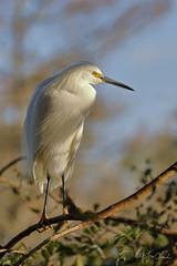 Snowy Egret (TomLamb47) Tags: nature wildlife bird sneg snowy egret gatorland breeding marsh swamp orlando florida canon 7d2 100400mm