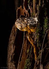 GRS20190217 00517-19-Edit (glennsmith3) Tags: mushroom mushrooms mushroomphotography fungi fungus bluemountains forest