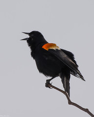 Sing it loud...sing it strong (Fred Roe) Tags: nikond7100 nikonafsnikkor200500mm156eed nature naturephotography national wildlife wildlifephotography animals birds birding birdwatching birdwatcher redwingedblackbird agelaiusphoeniceus colors outside peacevalleypark flickr
