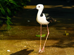 Stilt (Uhlenhorst) Tags: 2007 australia australien animals tiere birds vögel travel reisen coth coth5