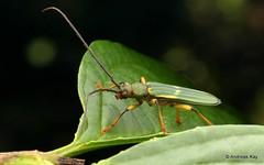 Longhorn beetle, Chlorida fasciata, Cerambycidae (Ecuador Megadiverso) Tags: andreaskay beetle cerambycidae coleoptera ecuador longhornbeetle chloridafasciata