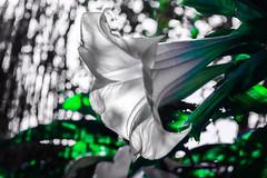 Fotografia experimental (ameliapardo) Tags: fotografiaexperimental flores macro macrodeflores fujixt2 leica60macro verde blanco naturaleza airelibre jardines