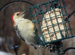 Red-bellied Woodpecker IMG_0615 (Ted_Roger_Karson) Tags: canonpowershotsx50hs northernillinois handheldcamera miniaturecompactpocketcamera backyardbirds backyard birdfeeder add tags birds bird feeder woodpecker redbellied back yard friends northern illinois canon sx280 hs powershot miniature compact pocket camera male seed cake zoom animals suet telephoto thisisexcellent twop test photo hand held minicompact food bell downy hairy h