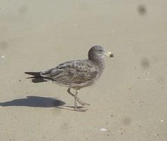 Larus pacificus 1 (ftbirds) Tags: 7 seven mile beach bootibooti national park nsw australia barry m ralley barrymralley larus pacificus pacific gull