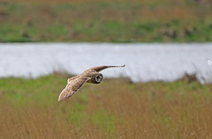 IMG_3260 (Gronk 08) Tags: parkgate wirral short eared owl wild bird cheshire