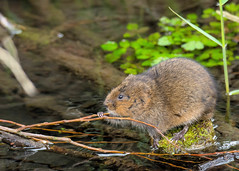 Water vole 1 explored:) (ian._harris) Tags: d7200 nikon tamron 150600g2 water vole wilde nature wildlife sunday animals naturephotography natur life flickr outside naturaleza
