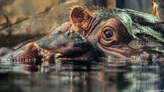 "Whispering, ""I Love you Mom"". (Robert Streithorst) Tags: bibi cincinnatizoo daughter eye fiona hippo mother robertstreithorst whisper zoosofnorthamerica"