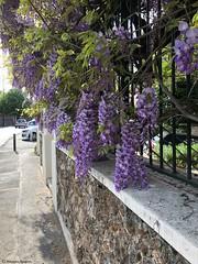 glycine-maison© (alexandrarougeron) Tags: photo alexandra rougeron fleur plante nature flickr