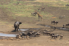 Animals at the Watering Hole (Rckr88) Tags: animals watering hole animalsatthewateringhole elephant elephants giraffe giraffes zebra zebras water waterbuck wildebeest nature outdoors wildlife krugernationalpark southafrica kruger national park south africa
